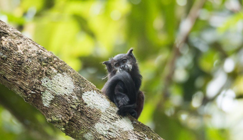 amazonas kolumbien affe