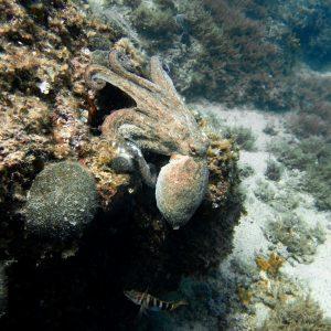 Murter Tauchen Oktopus