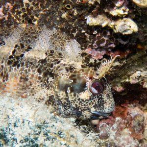 Rab Tauchen Kroatien Fisch