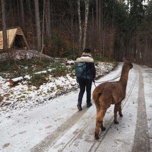 Alpaca Llama trekking Liechtenstein2